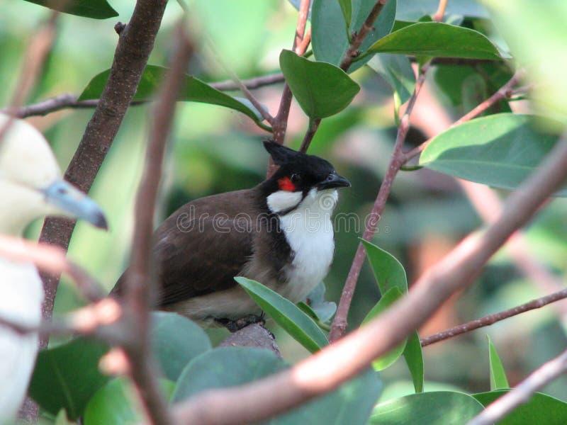 Bulbul vogel de rood-met bakkebaarden van pycnonotusjocosus stock afbeeldingen