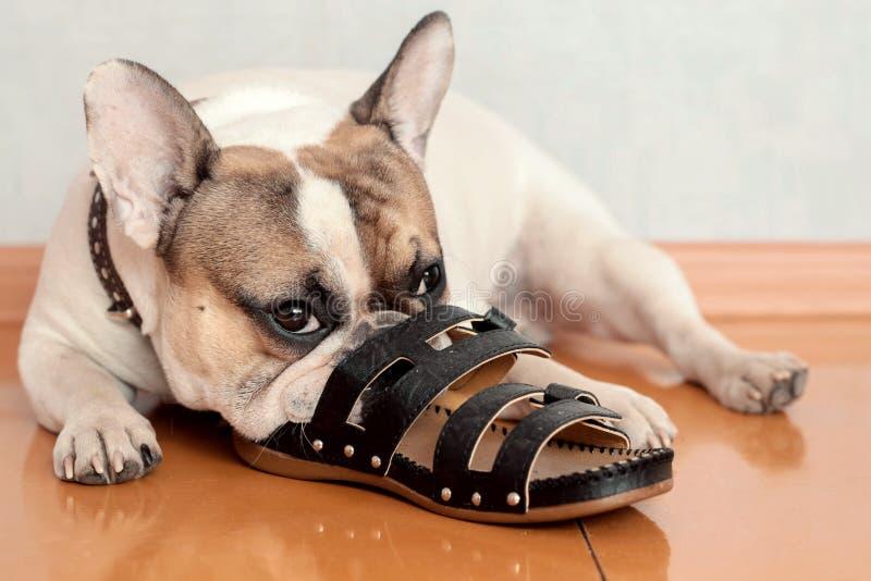 Buldog het kauwen op pantoffels stock fotografie