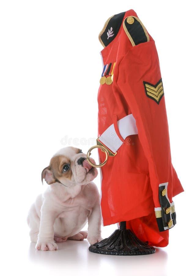 buldoga szczeniak z anglik milicyjną kurtką obraz stock