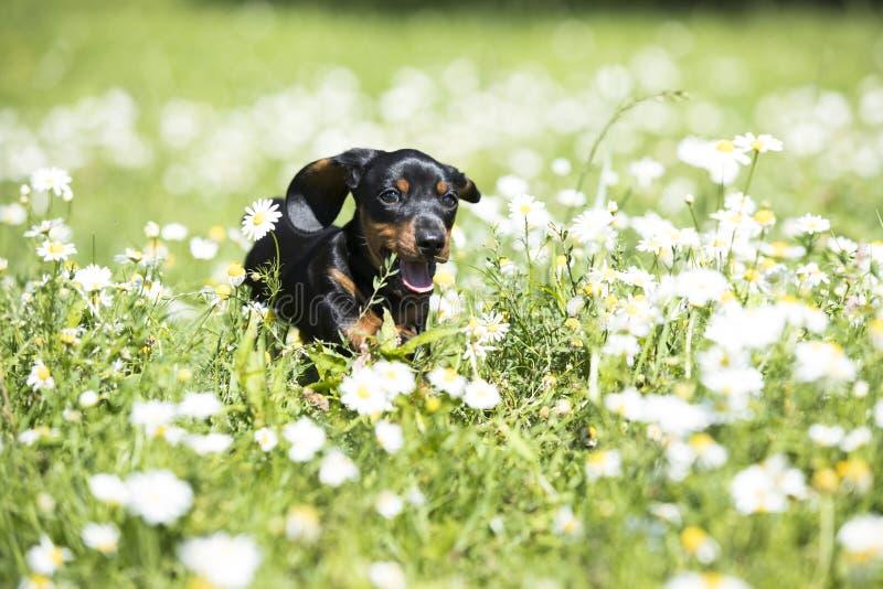 Buldogpuppy in vers groen gras stock afbeelding
