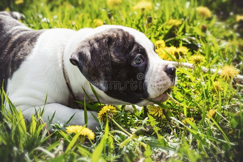 Buldogue americano do cachorrinho para uma caminhada no parque foto de stock