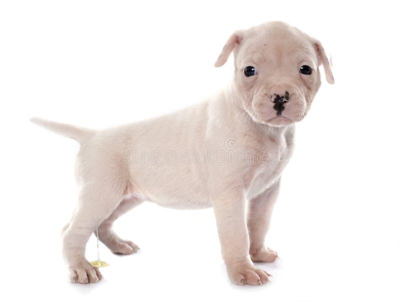 Buldogue americano do cachorrinho que urina imagem de stock royalty free