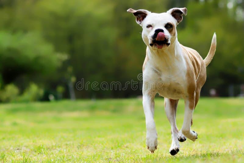 Buldogue americano engraçado, salto fotografia de stock