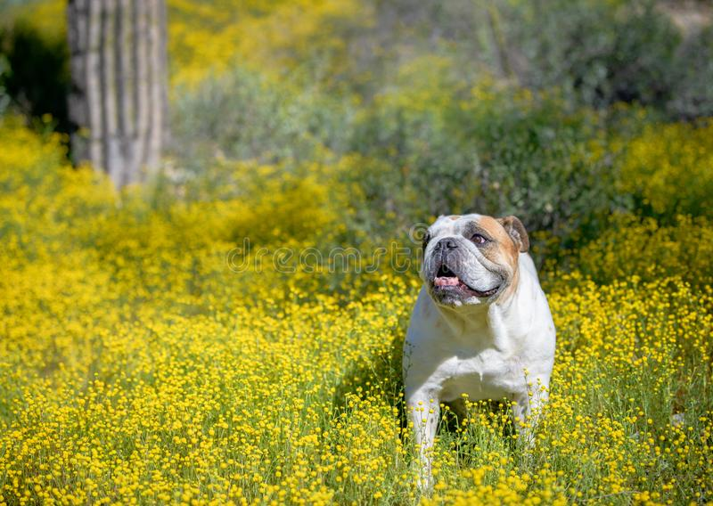 Buldogue branco nas flores do deserto fotos de stock royalty free