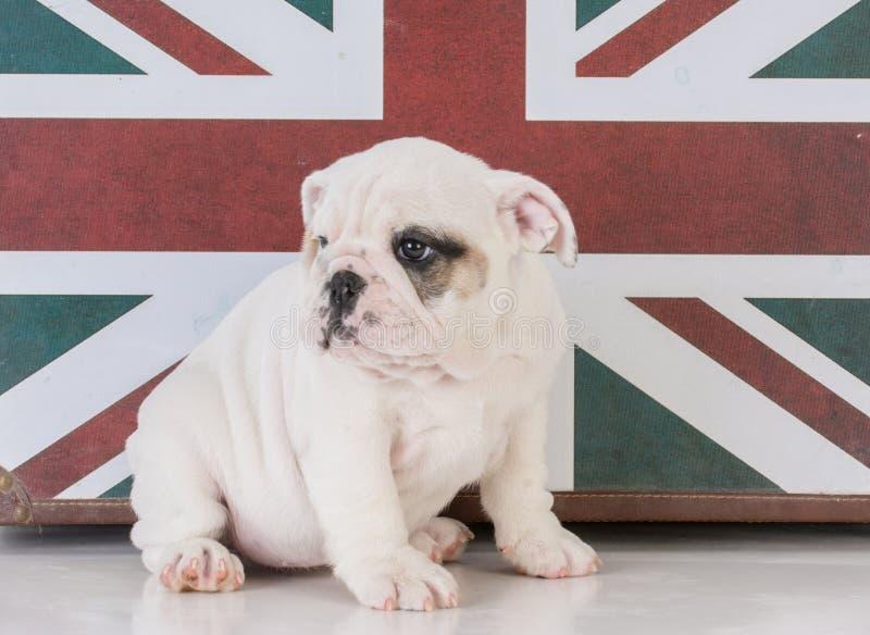 buldogue com bandeira britânica fotos de stock royalty free
