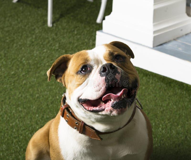 Buldogue do americano do cão fotos de stock