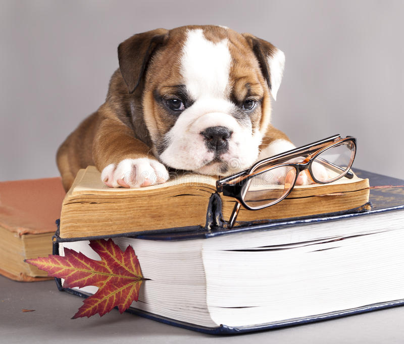 Buldogue e livro ingleses fotos de stock
