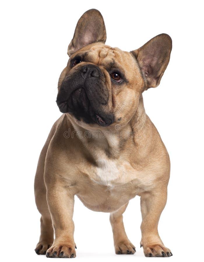Buldogue francês, 2 anos velho, posição imagem de stock royalty free