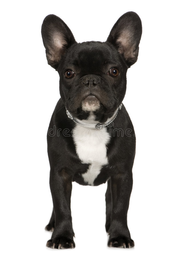 Buldogue franc s 6 meses fotografia de stock imagem - Bulldog frances gratis madrid ...