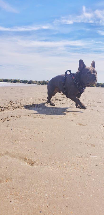 buldogue francês do cão da praia fotos de stock