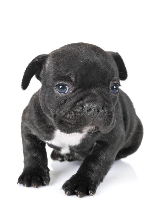 Buldogue francês do cachorrinho fotos de stock royalty free