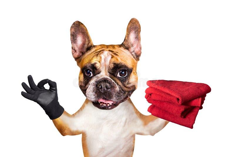 Buldogue francês do gengibre engraçado do cão para guardar toalhas vermelhas e para mostrar aproximadamente um sinal animal isola fotos de stock