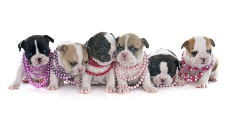Buldogue francês dos cachorrinhos foto de stock