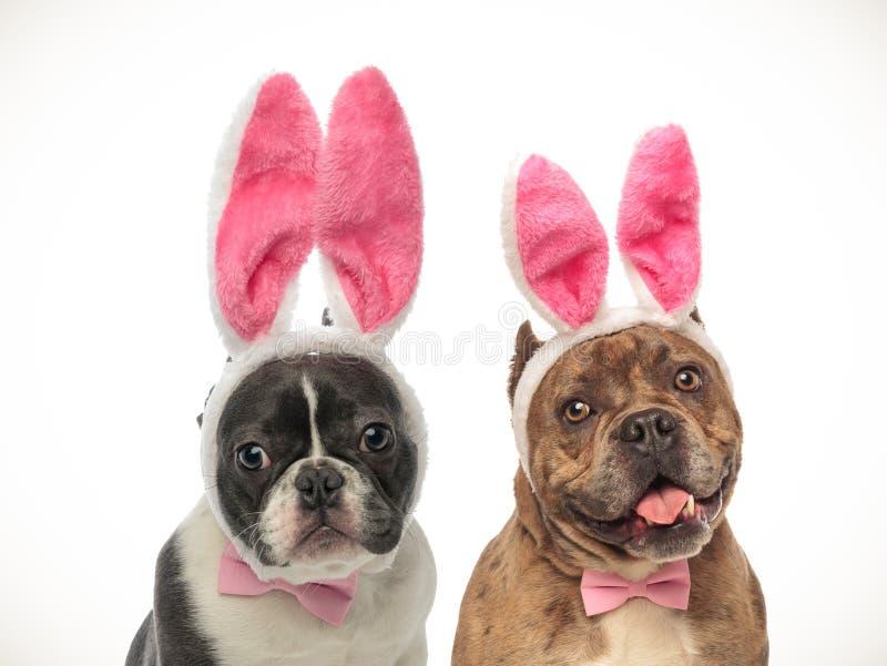 Buldogue francês e cachorrinhos americanos da intimidação que vestem as orelhas do coelho imagens de stock royalty free