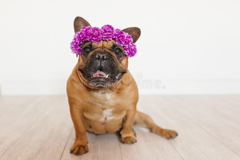 Buldogue francês marrom bonito que senta-se no assoalho em casa que veste uma grinalda roxa bonita das flores Animais de estimaçã fotografia de stock