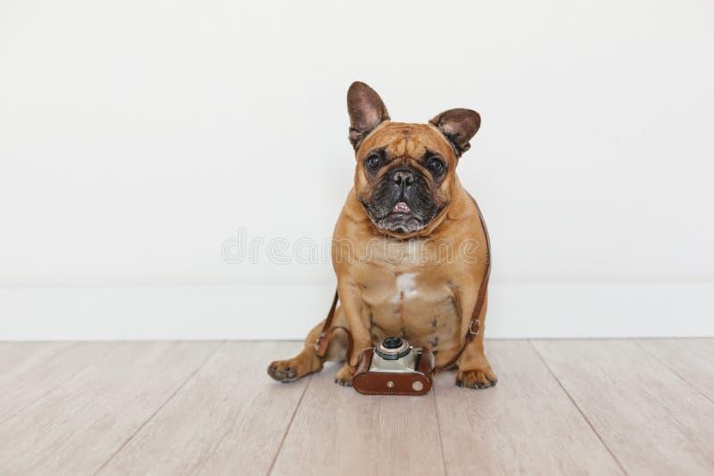 Buldogue francês marrom bonito que senta-se no assoalho Usando a câmera velha do vintage, animais de estimação dentro, conceito d imagens de stock