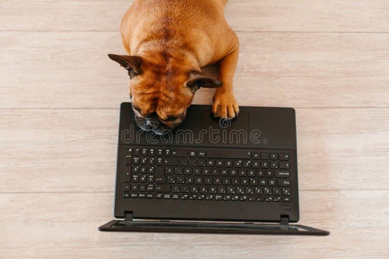 buldogue francês marrom giro que trabalha em casa e se sente cansado Pets no interior, estilo de vida e conceito tecnológico imagens de stock royalty free