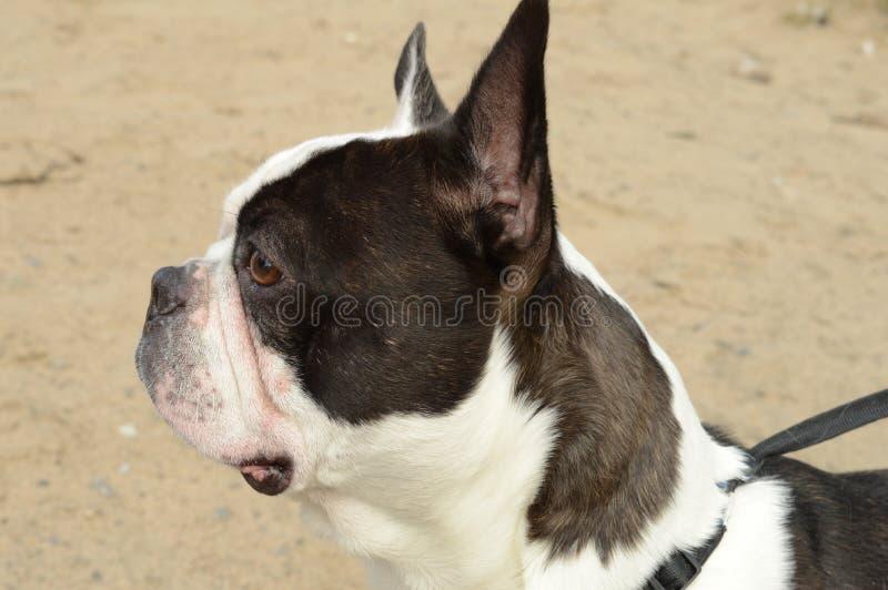 Buldogue francês na praia foto de stock royalty free