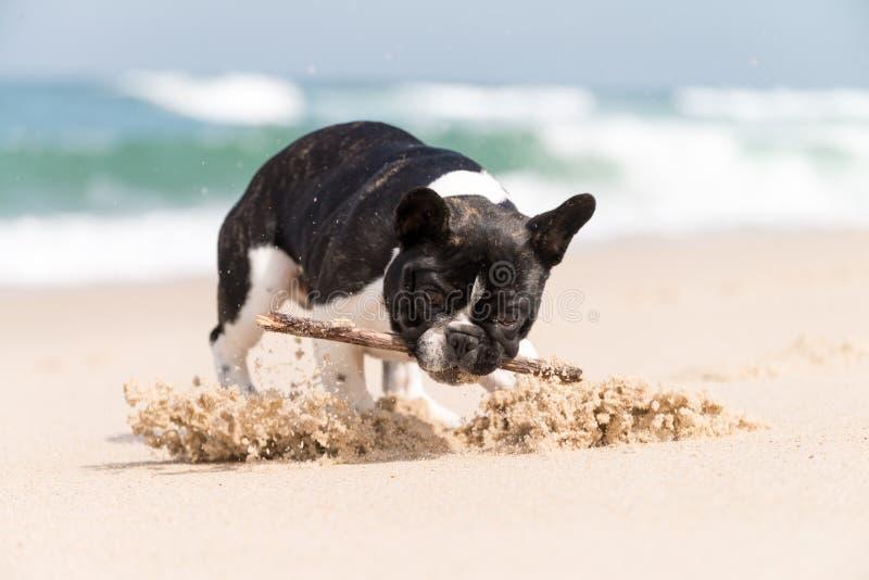Buldogue francês na praia fotografia de stock
