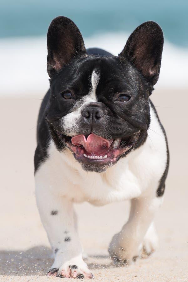 Buldogue francês na praia imagem de stock