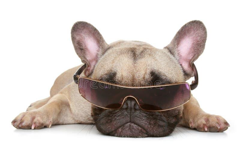 Buldogue francês nos óculos de sol imagem de stock