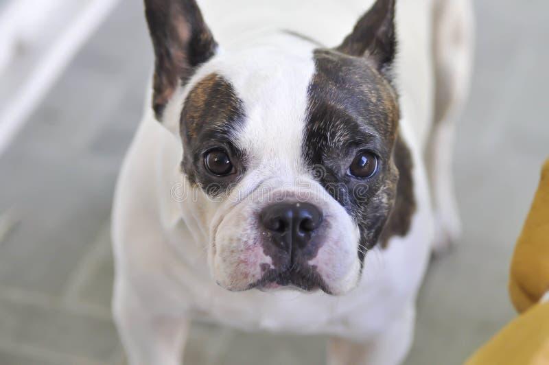 Buldogue francês ou cão olhar fixamente foto de stock royalty free