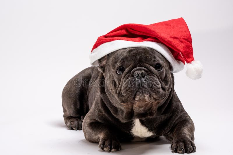 Buldogue francês purebreed adorável que veste o chapéu de Santa Claus que coloca no fundo branco fotos de stock