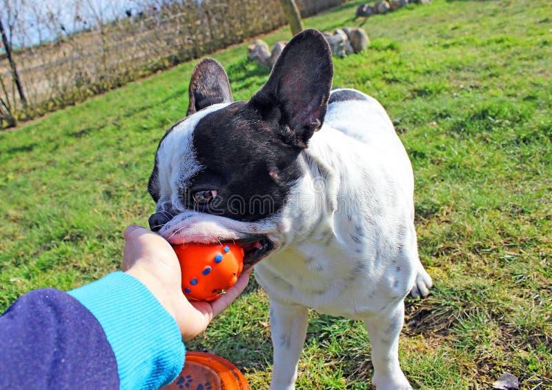 Buldogue francês que joga o brinquedo do cão foto de stock royalty free