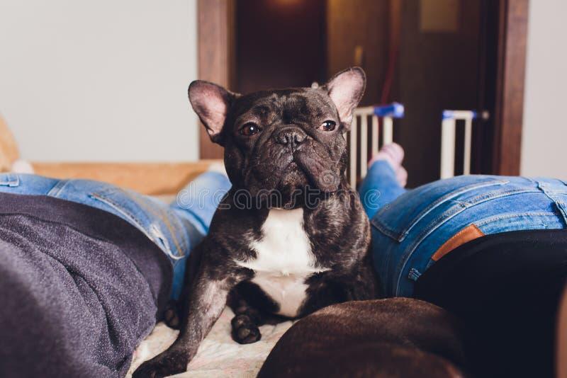 Buldogue francês que senta-se no sofá - cão horizontal imagens de stock royalty free