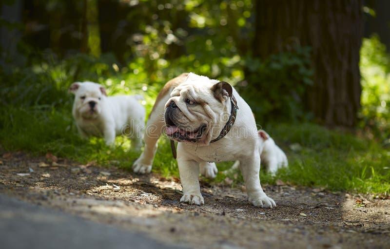 Buldogue inglês adulto e dois cachorrinhos entre a grama e árvores em um dia ensolarado imagem de stock