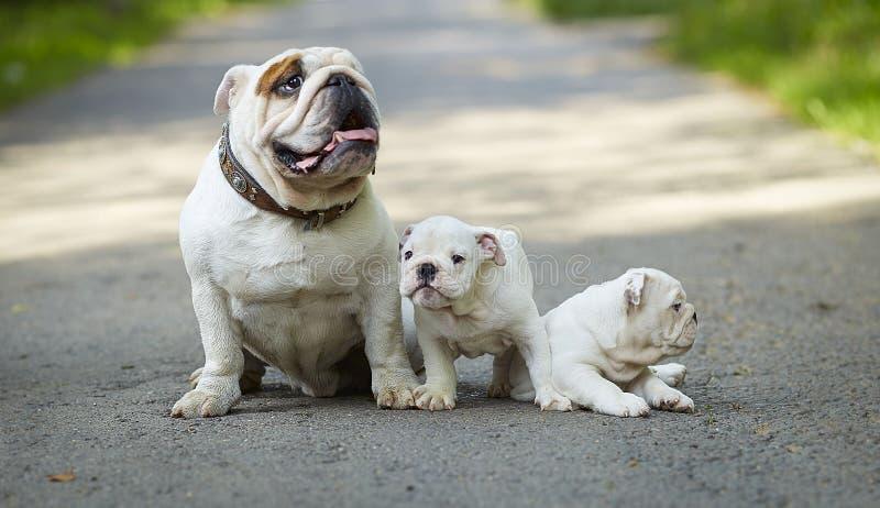 Buldogue inglês branco com os dois cachorrinhos brancos de jogo que sentam-se na estrada fotos de stock royalty free