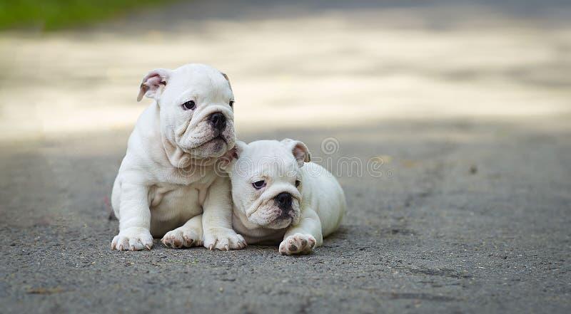Buldogue inglês de dois cachorrinhos brancos na estrada no verão fotografia de stock
