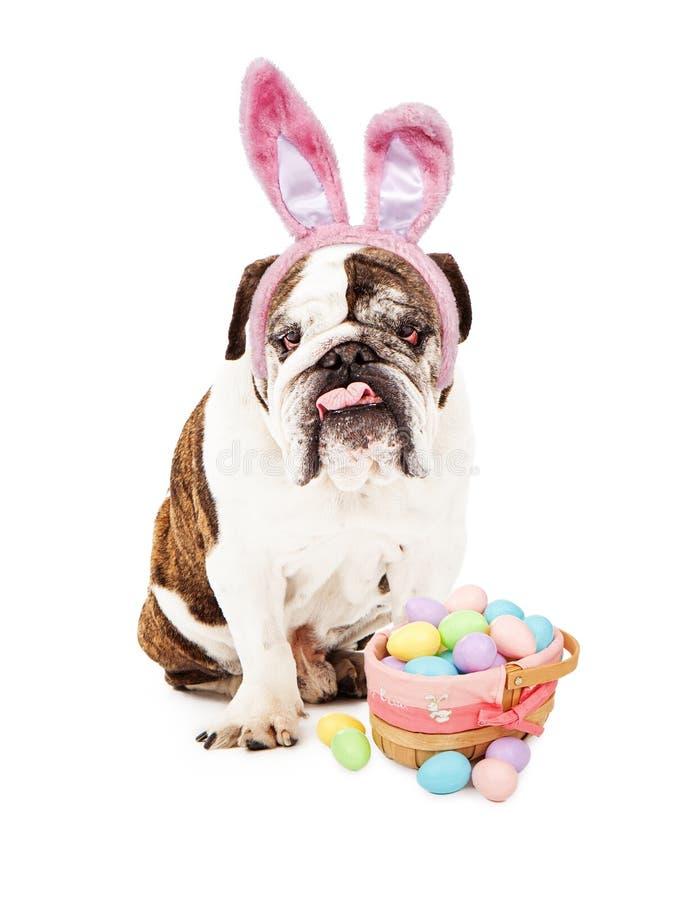 Buldogue inglês que veste Bunny Ears e a cesta fotografia de stock royalty free