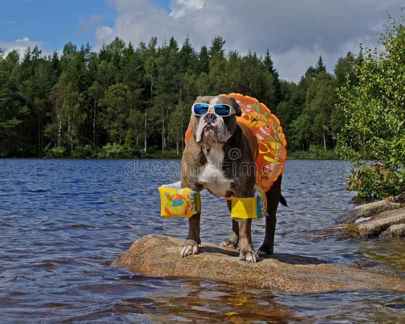 Buldogue no lago com floaties sobre foto de stock