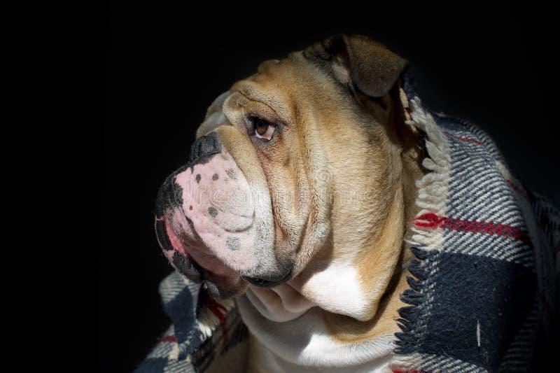 Buldogue triste em um retrato da manta fotografia de stock royalty free