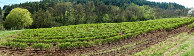 Bulgaars nam vallei dichtbij Kazanlak toe Rose Damascena-gebieden vroeg in de lente - banner stock fotografie