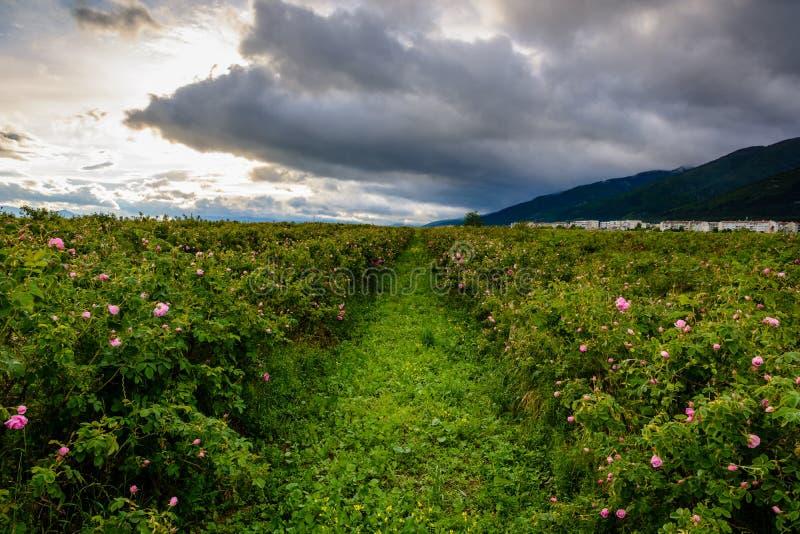 Bulgarerosenfeld nahe Karlovo stockfoto
