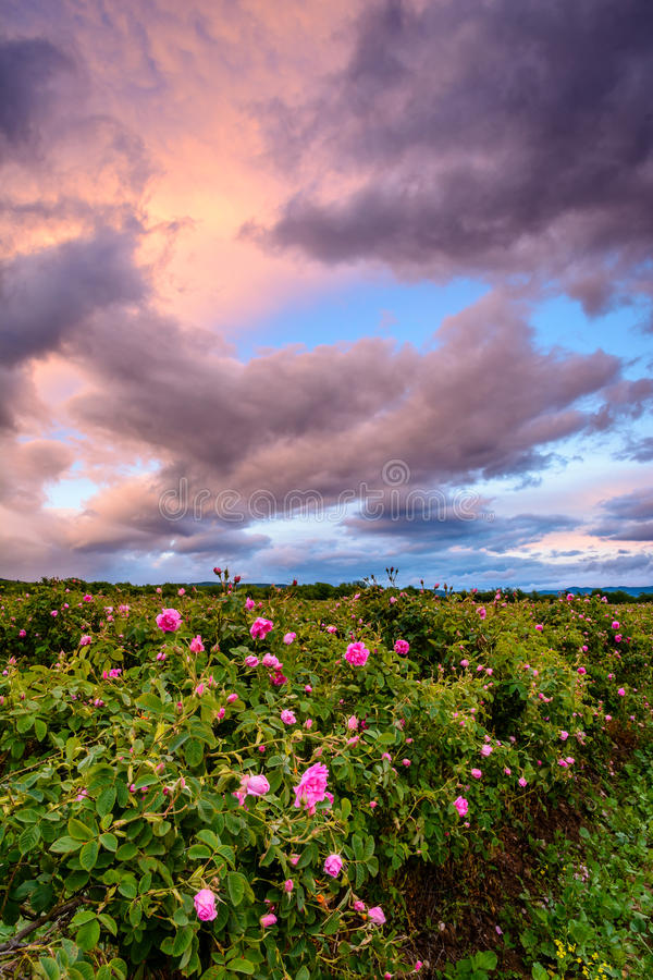 Bulgarerosenfeld nahe Karlovo lizenzfreies stockbild
