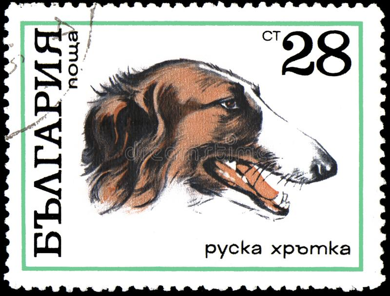 BULGARIA - CIRCA 1970: postage stamp, printed in Bulgaria, shows a Russian greyhound royalty free stock photo
