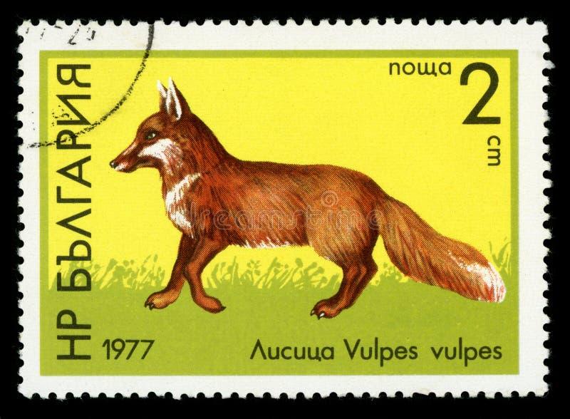 Bulgaria `Wildlife` series postage stamp, 1977. BULGARIA - CIRCA 1977: A stamp printed by Bulgaria shows image of a Red Fox, Wildlife series, circa 1977 royalty free stock photo