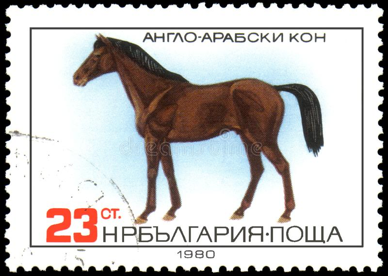 BULGARIA - CIRCA 1980: a stamp, printed in Bulgaria, shows a Anglo-Arabian horse stock illustration