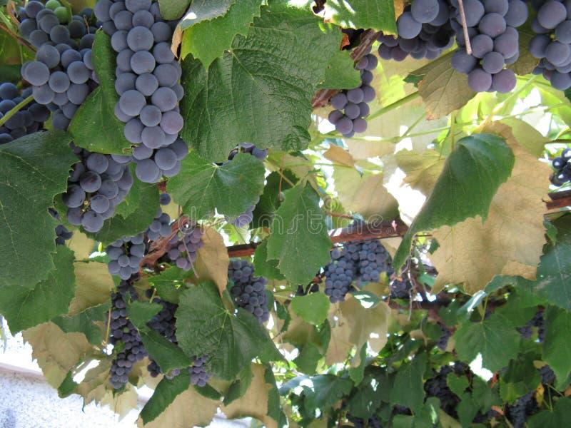 Bulgaria Golden Sands Varna area grape royalty free stock images