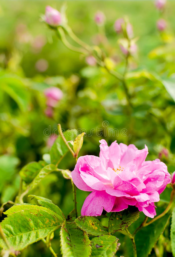 Free Bulgarian Damascena Rose Stock Photos - 90578263