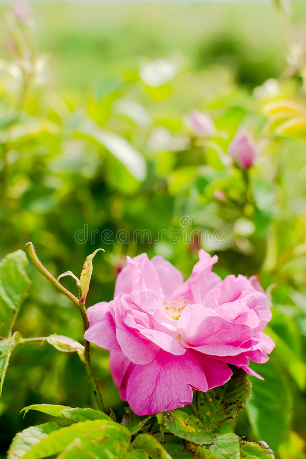 Free Bulgarian Damascena Rose Stock Photo - 90578410