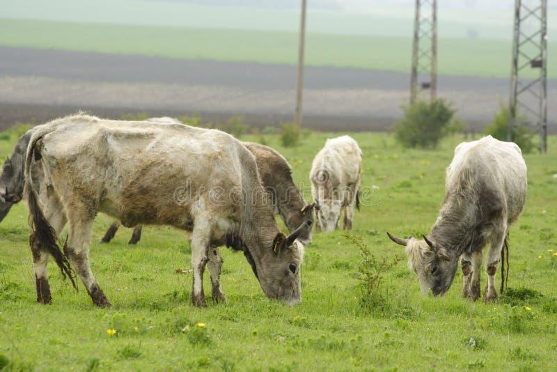 Bulgarian gray cattle royalty free stock photos