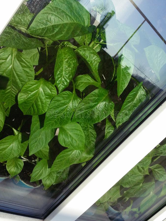 Bulgarian green pepper seedlings grow in pots with earth behind the glass on the windowsill royalty free stock photo