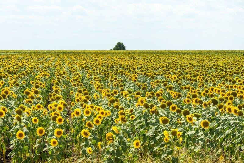 Bulgarian ripened sunflowers, autumn royalty free stock photo
