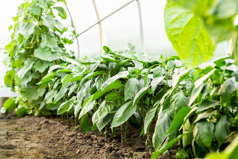 Bulgarian sweet pepper seedlings growing in the greenhouse. The concept of growing healthy food and organic products stock image