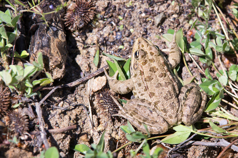 Bulgarian toad royalty free stock photography