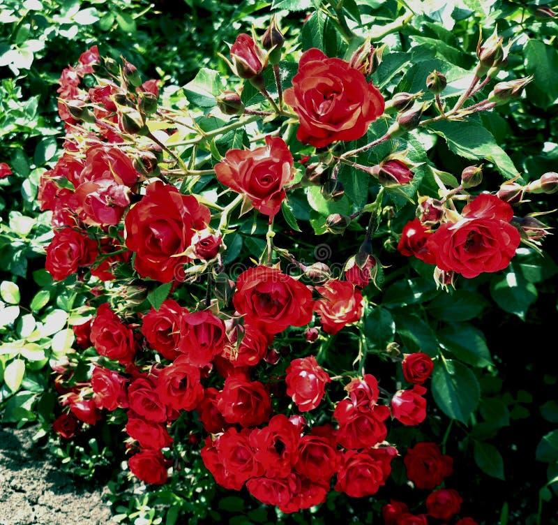Bulgarische blühende rote traditionelle symbolische Rosenbuschnahaufnahme lizenzfreie stockfotografie